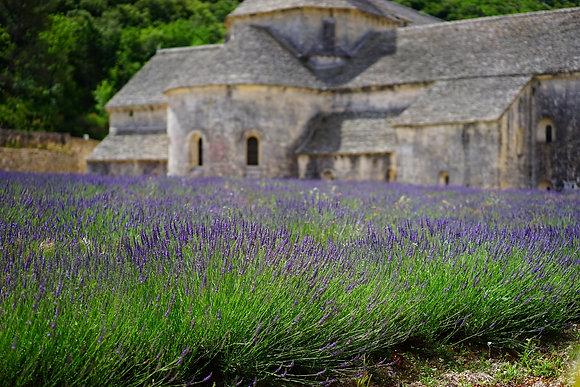 Lavandula x intermedia 'Provence'