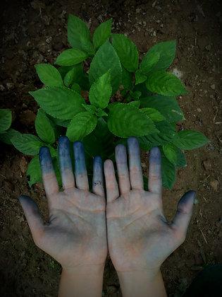 Dyers Plant Starts