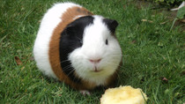 Guinea Pigs Are Autistic Childs Best Friend