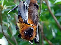 Bats: Warning to avoid contact as they are known carriers of viruses.