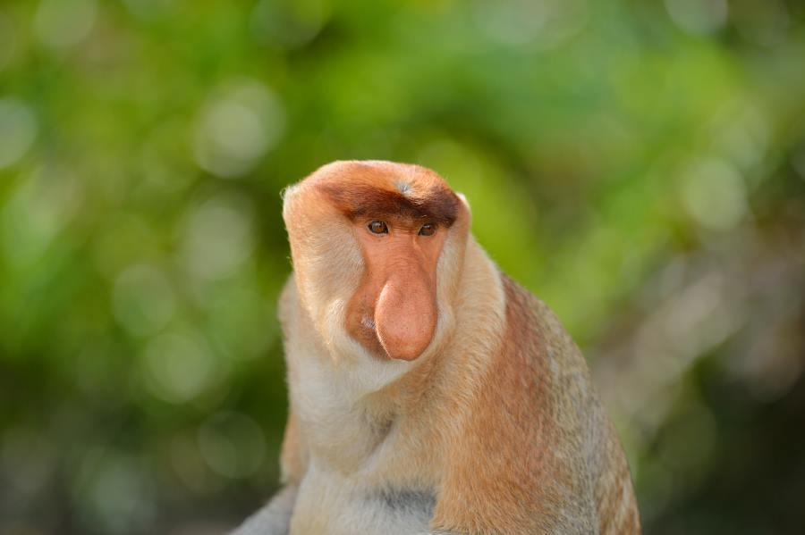 Proboscis Monkey at Nanamun River