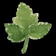 feuilles de persil