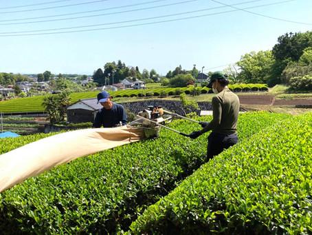 2021年度 新茶の収穫完了!