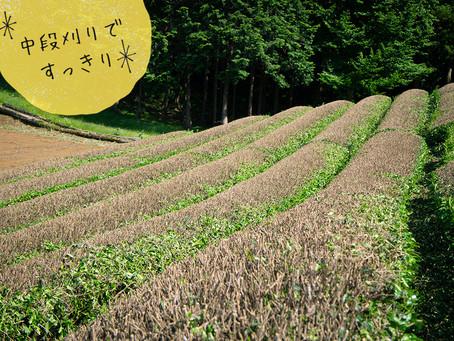 お茶の樹の中段刈り