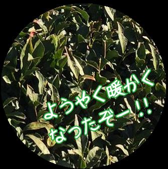冬を越えた茶葉