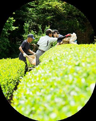 茶刈り風景