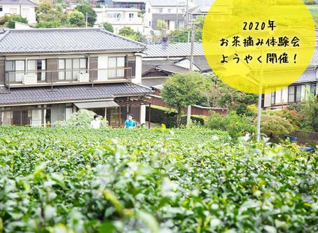 秋のお茶摘み体験会スタート!
