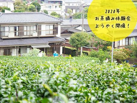 狭山茶農家 ささら屋『秋のお茶摘み体験会』スタート!