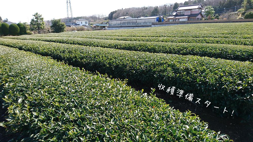 春先施肥の時の茶畑
