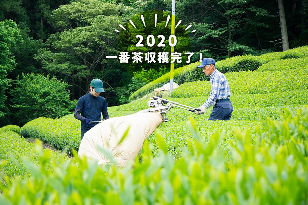 一番茶収穫