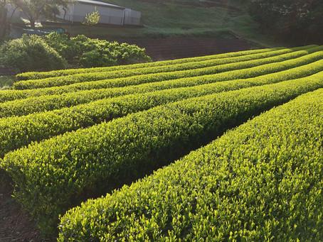 2021年度 新茶の予約販売受付開始