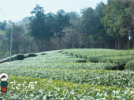 【鴻鵠塾】学生のみなさんが茶畑に来てくれました