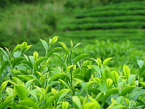 茶農家 ささら屋 狭山茶