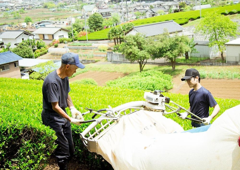 お茶の収穫風景
