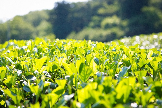 収穫後の茶畑