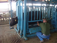 Dr. Browning working on cow in chute