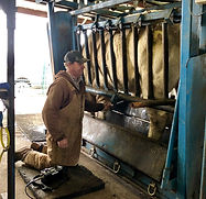 Dr. Brooks collecting a trich sample from a bull