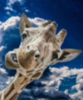 giraffe-882125_1920.jpg