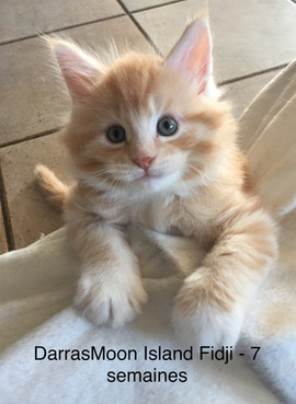 Maine Coon red silver tabby