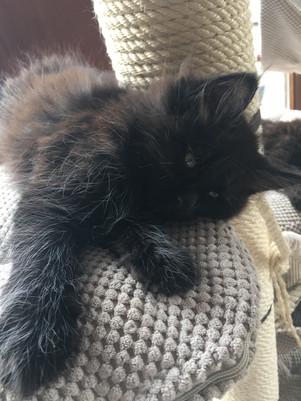 Maine Coon Kitten Black