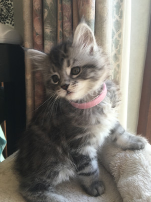 Maine Coon Chaton Black Silver