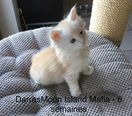 Chaton Maine Coon high silver