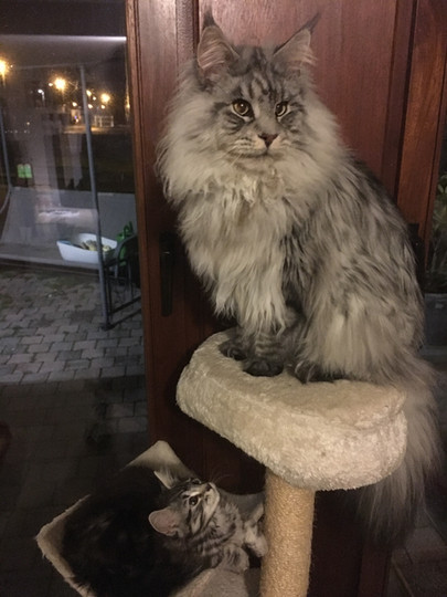 Male Maine Coon Black Silver