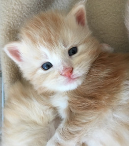 Chaton Maine Coon red