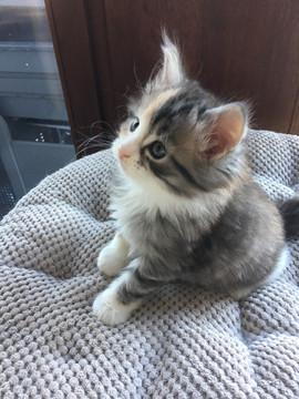 Kitten Maine Coon Tortie Silver