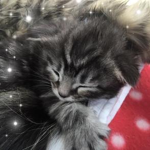 Maine Coon Kittens DarrasMoon 2017