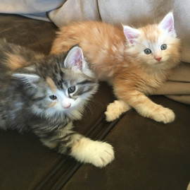 Maine Coon tortie silver and red silver