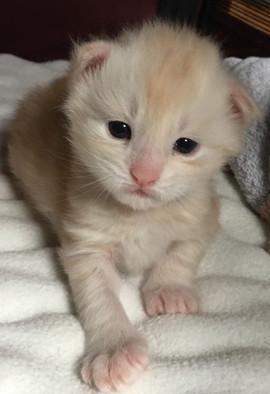 So Cute Kitten Maine Coon