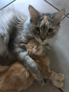 Maine Coon Mum and kid