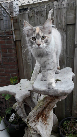 Maine Coon Blue tortie silver Tabby