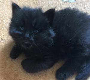 Kitten Black Maine Coon