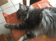 Maine Coon Blue Silver Tabby