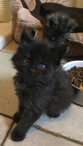 Kitten_Maine_Coon_Black.jpg