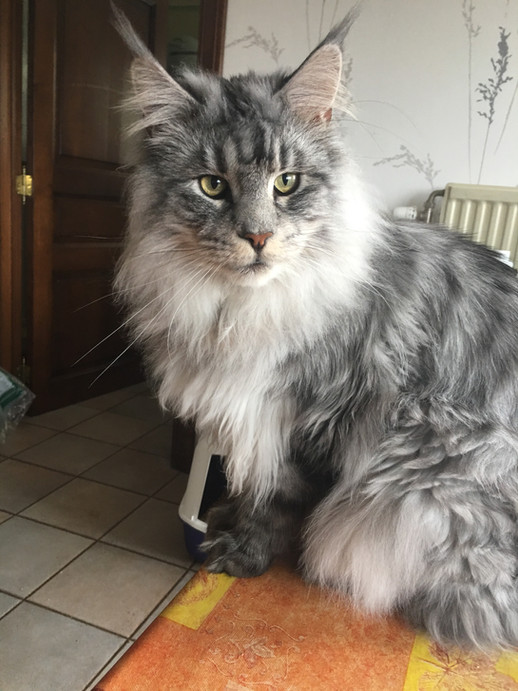 Maine Coon Polydactile Black Silver