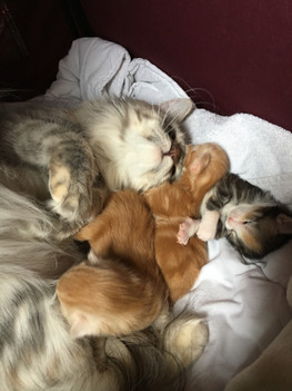 Mum and Kittens Maine Coon