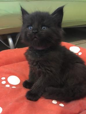 Kittens Maine Coon Black