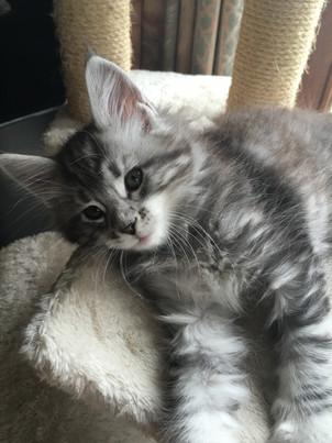 Maine Coon kitten Black Silver