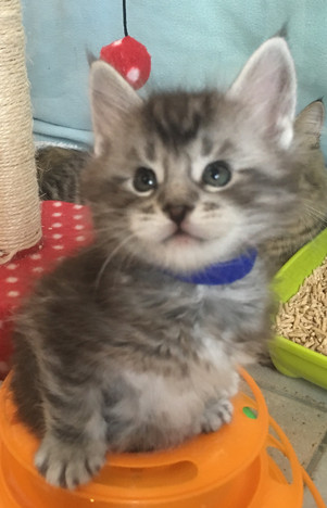 Maine Coon kittens 2017