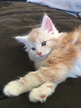 Chaton Maine Coon Red Tabby