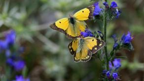 Sinds mijn vader is overleden zijn er regelmatig twee gele vlinders in onze tuin