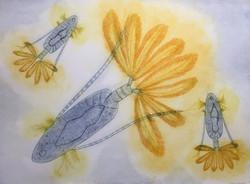 Paracalanus aculeatus - a trio of copepods  56 x 76 cm