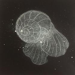 pLimacina sp. - sea butterfly 26.5 x 24.5