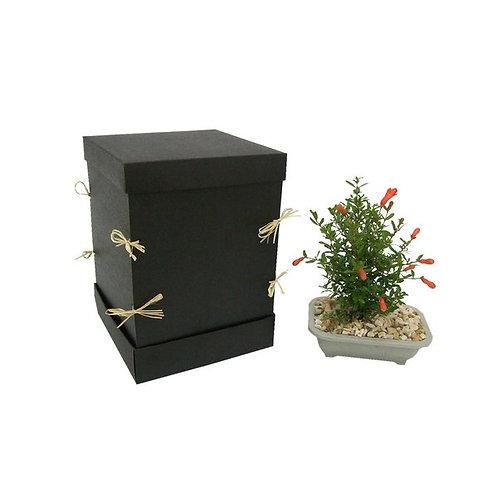 Bonsai em Caixa para Presente