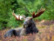 Male_Moose.jpg