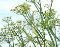 Wild fennel, cleansing, New Millennium flower essence
