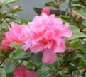 Camellia Gay Pixie, elemental kingdom, New Millennium flower essence